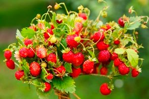 The Food Court: In search of an even better breed of strawberries