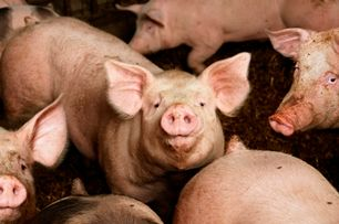 The Medical Bond: Pig mucus could fight off viruses in toothpaste, other products