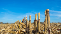 cornfield.png